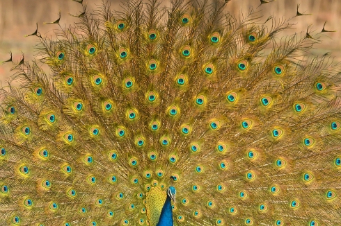 Indian Peafowl (m)